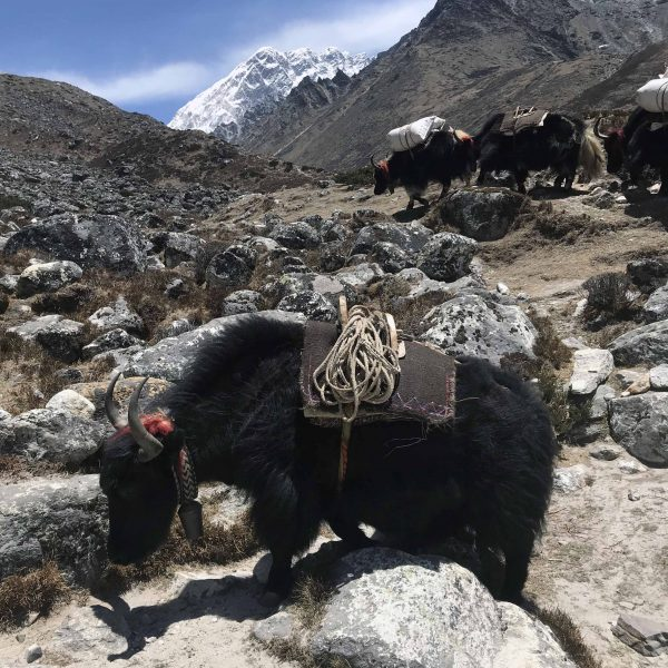 A friendly yak!